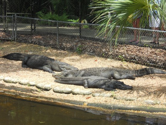 Homosassa Springs, FL: Gators in the park