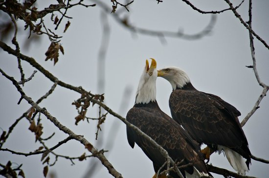 Haines, AK: a mating pair of Bald Eagles in the Chilkat Bald Eagle Preserve