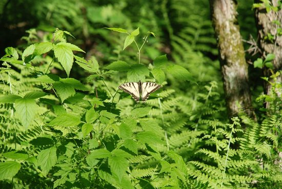 Brome, Kanada: Swallowtail Butterfly on Ferns