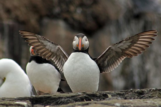 Northumberland, UK: Popular Puffins