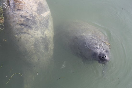 Seascape Motel and Marina: Momma & baby manatee chillin
