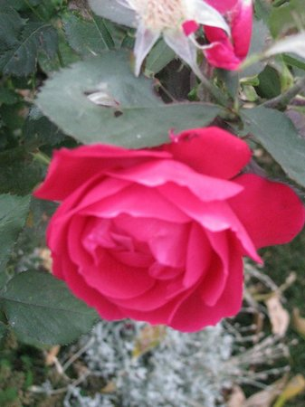 Along River Ridge: ROSE