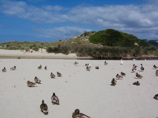 Ducks on son bou beach picture of aparthotel hg jardin for Aparthotel jardin de menorca