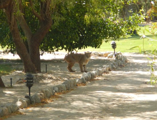 Two Bunch Palms Resort & Spa: Bobcat on the prowl
