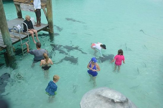 Nurse Sharks At Compass Cay Picture Of Staniel Cay Yacht