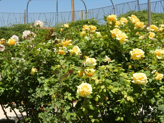 Yellow Rose Bushes Types Several yellow roses bushesYellow Rose Bushes Types