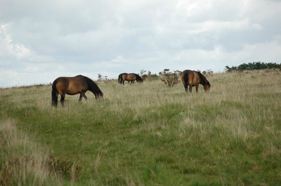 Tarr Farm Inn: Exmoor ponies on the way to the Tarr Steps