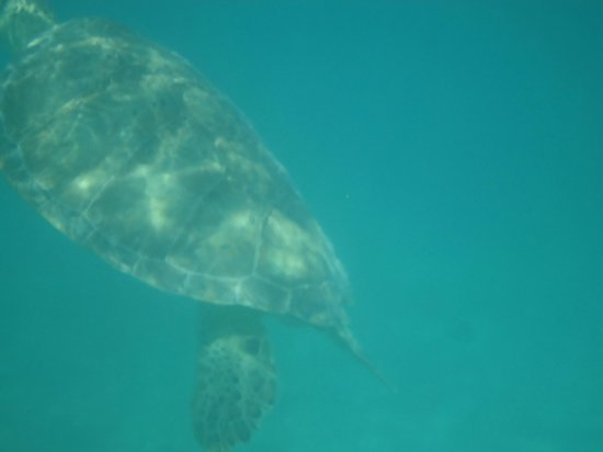 swimming with giant sea turtles picture of maya can eco