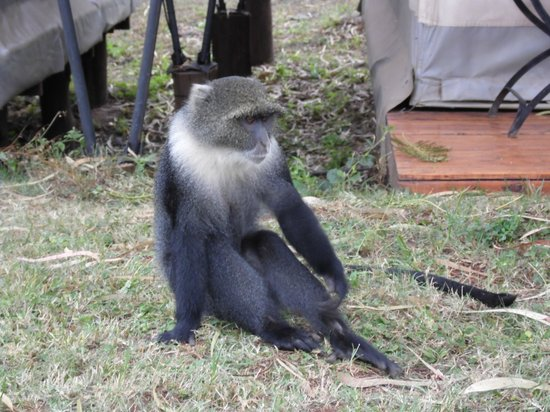 Wildebeest Eco Camp: monkey who came up to the tents in the morning
