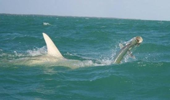 We have big tarpon and huge sharks picture of upper keys for Best places to fish in florida without a boat