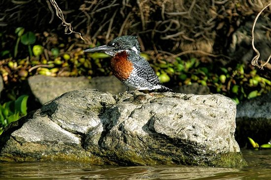 Giant kingfisher one of 300 species of bird in naivasha for Au jardin du gouverneur quebec