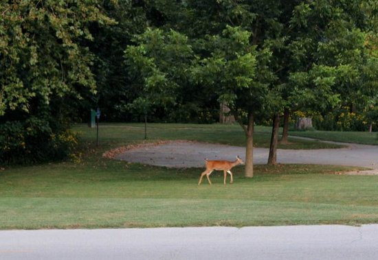 Meramec State Park Campground: Deer out for an evening stroll