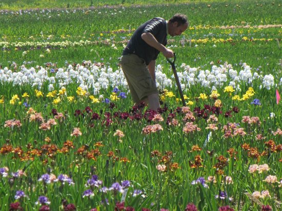 Volkswalk Participants Wander By The Iris Fields Picture