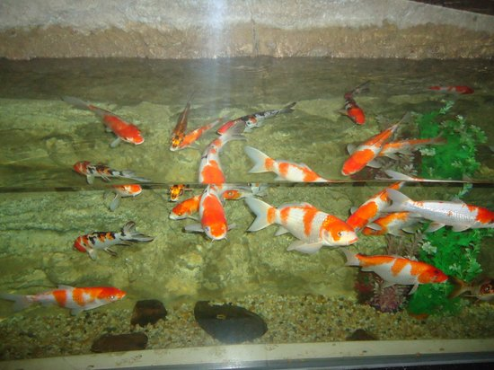 Carp koi fish for Coy fish tank