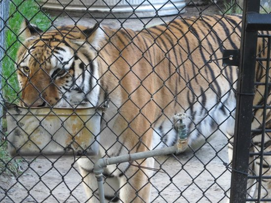 Jacksonville, FL: Beautiful and Bold Tiger