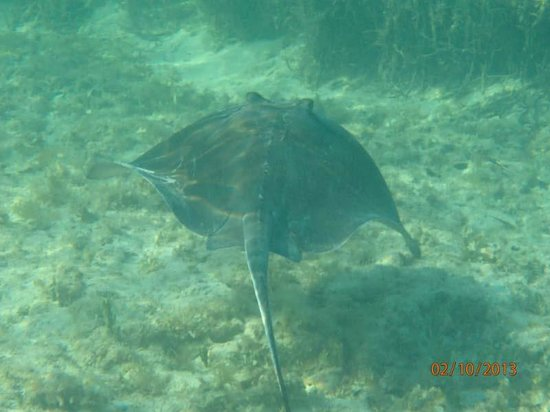 Eagle Ray Snorkeling At Hedo Picture Of Hedonism Ii