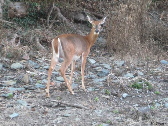 Stonehouse Bed and Breakfast: Deer spotted on the way to dinner