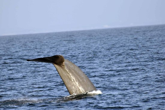 Blue whale diving picture of dana wharf whale watching for Deep sea fishing dana point