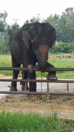 our darling Rasamee - Picture of Elephantstay, Ayutthaya ...