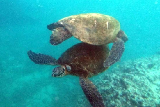 Maui, HI: Two turtles next to each other - relatively common