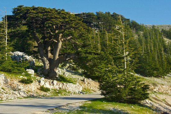 Shouf Lebanon  city photos gallery : Al Shouf Cedar Nature Reserve Picture of Al Shouf Cedar Nature ...