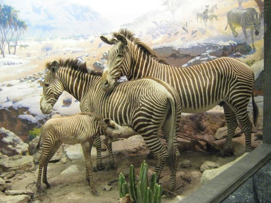 American Museum of Natural History: The hall of African mammals is a classic
