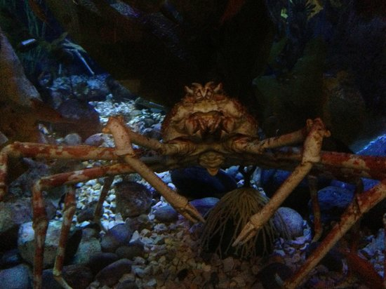 King Crab Picture Of Dallas World Aquarium Dallas