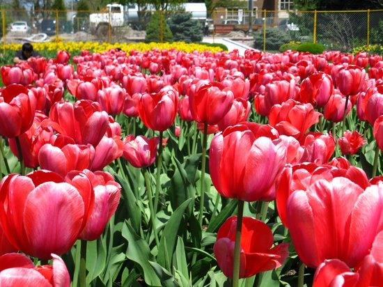 Lots of tulips when in season picture of jackson park for What season are tulips