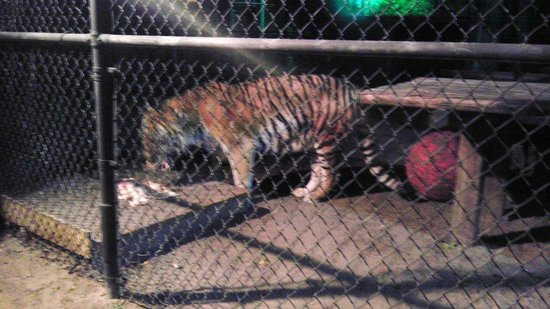 Tiger Eat Meat Tiger Eating Chicken Meat