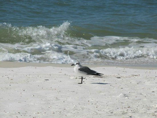birds on the beach picture of osprey on the gulf panama. Black Bedroom Furniture Sets. Home Design Ideas