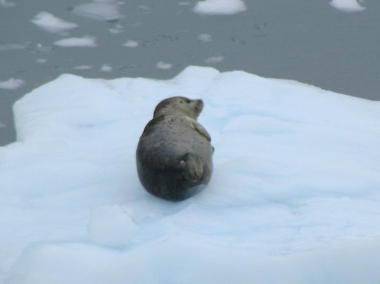Glacier Bay National Park and Preserve, AK: Seal on ice.