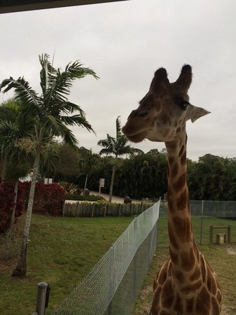 Loxahatchee, FL: Feeding the giraffe romaine lettuce.