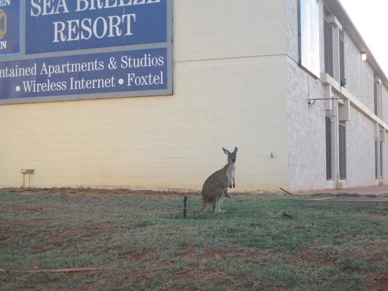 BEST WESTERN Sea Breeze Resort Exmouth: Kangaroo visiting