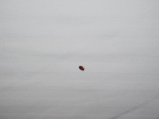 Bed bug foto van red lion hotel denver southeast aurora for Are bed bugs red