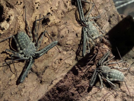 Whiptail Scorpion Spider