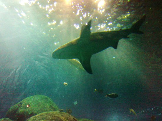 Shark Picture Of Tennessee Aquarium Chattanooga