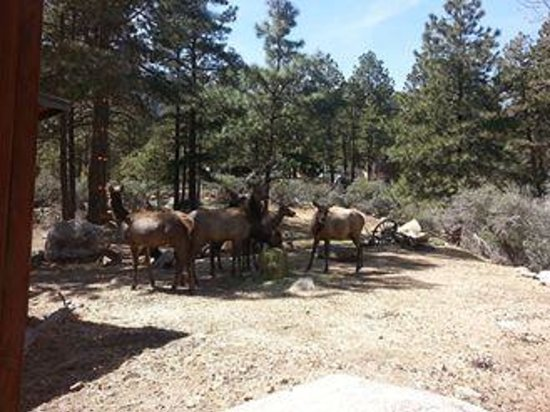Elk Outside The Restaurant Picture Of Hualapai Mountain