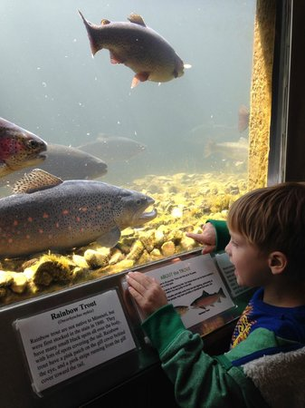 Checking out the fish up close picture of shepherd of for Branson fish hatchery