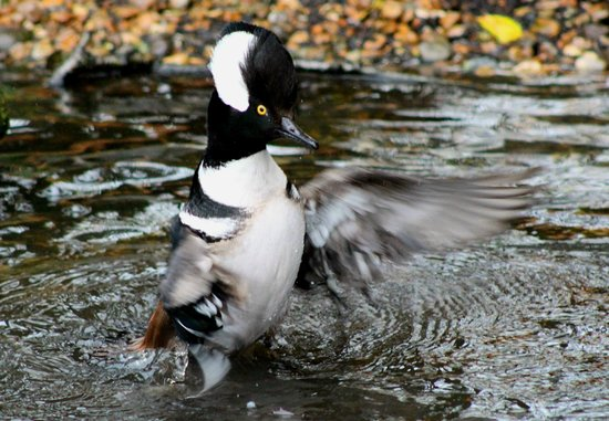 Hooded Merganser Can Be Seen At Martin Mere Picture Of