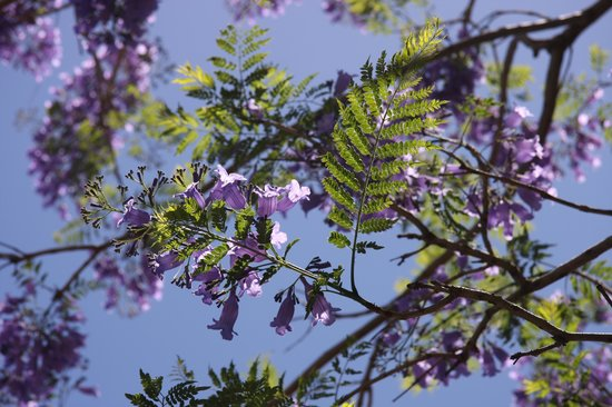Gallery Jacaranda Tree Leaf