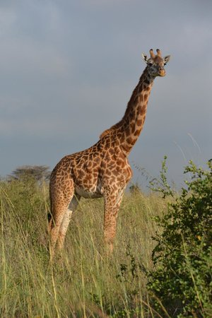 The Emakoko: Giraffe with wild background!