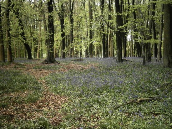 Bluebells In Dockey Wood Picture Of Ashridge Estate