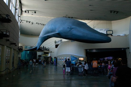 The Life Sized Blue Whale In The Main Hall Picture Of