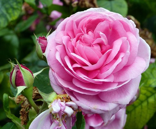 queen mary rose garden pink rose picture of queen mary. Black Bedroom Furniture Sets. Home Design Ideas