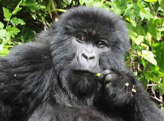 Gorilla Expeditions -  Day Tours