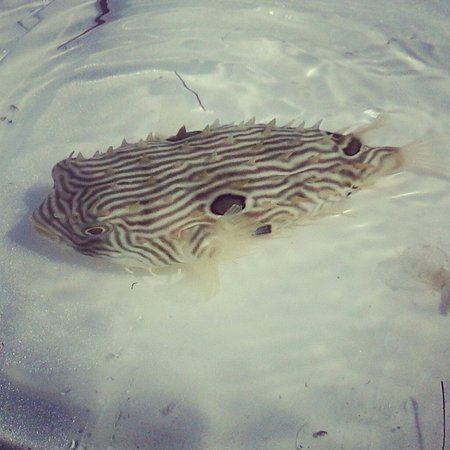 The staff caught a puffer fish for everyone to see for Puffer fish florida