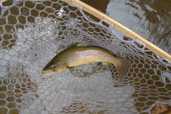 Elk Springs Resort: Brown trout cought in the river