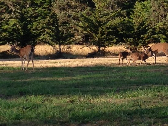 Brewery Gulch Inn: Family of deer enjoying the lawn in front of the Inn