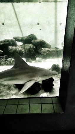 Mote Marine Laboratory and Aquarium: Shark