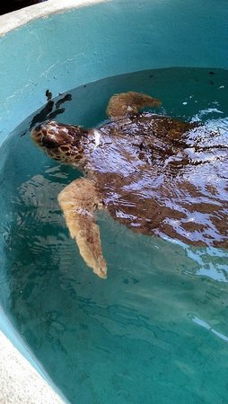 Mote Marine Laboratory and Aquarium: Sea Turtle